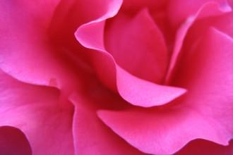 scoobyfoo rose